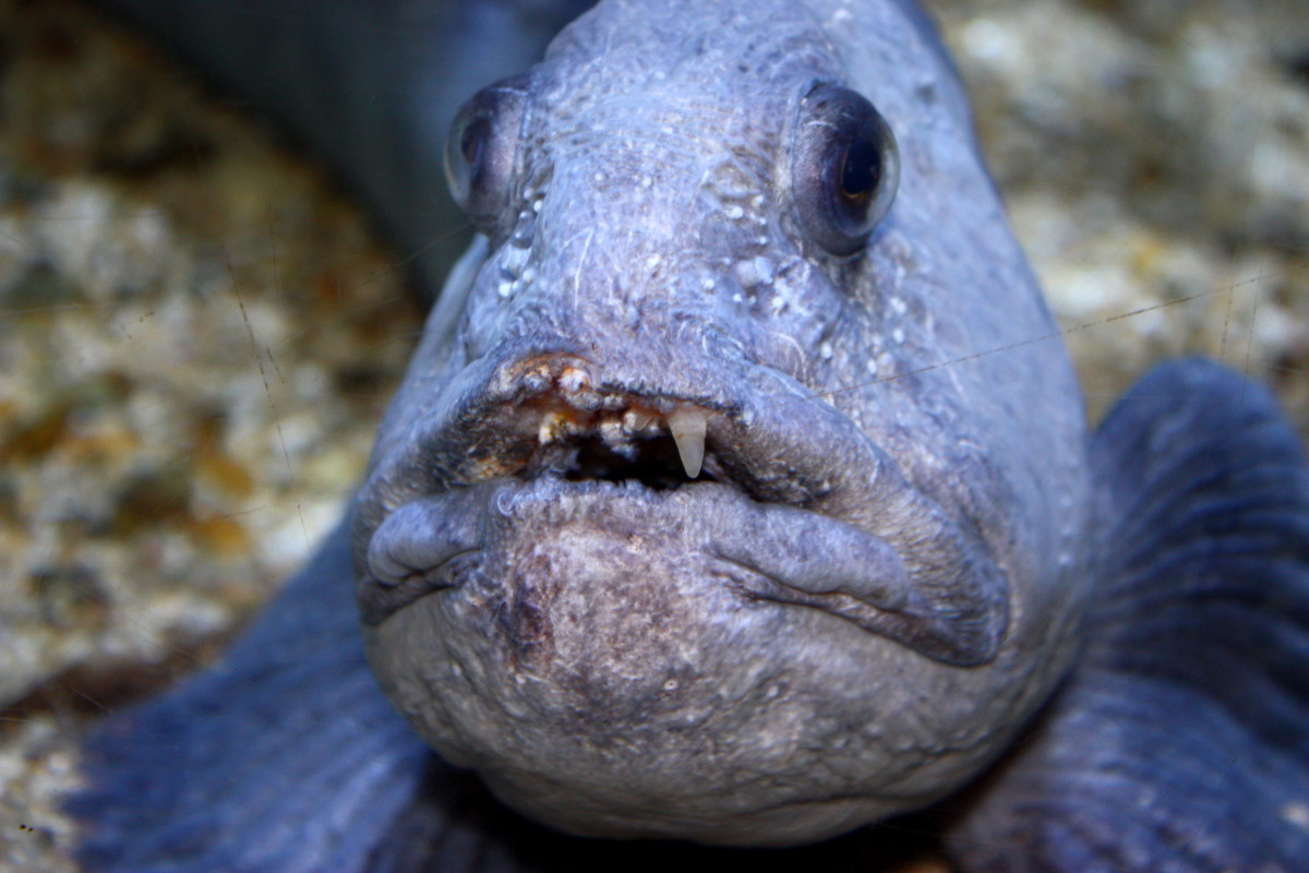 Image of the sea wolf at the aquarium at La Rochelle
